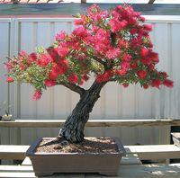 Stiff bottlebrush bonsai by Chinese Bonsai Garden
