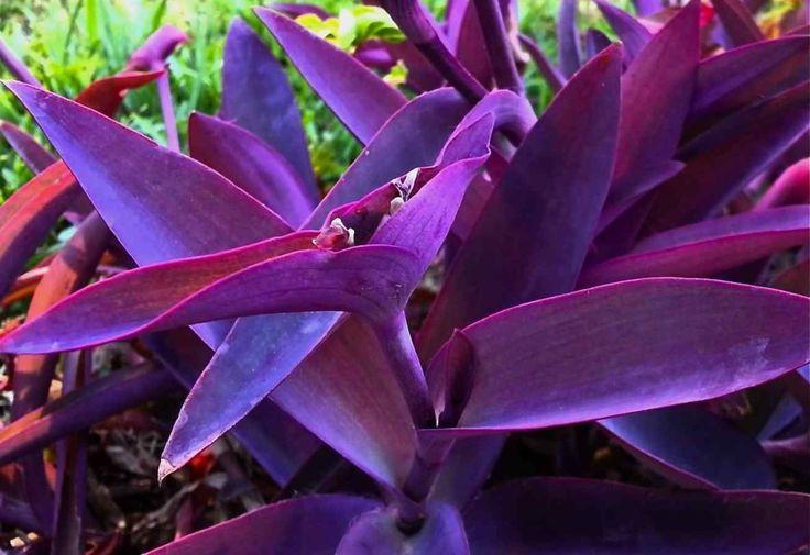 Trapoeraba roxa - Tradescantia pallida purpurea