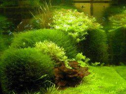 Live aquarium plants, glossostigma, lilaeopsis, micranthemum, eleocharis janbucblog.wordpr...