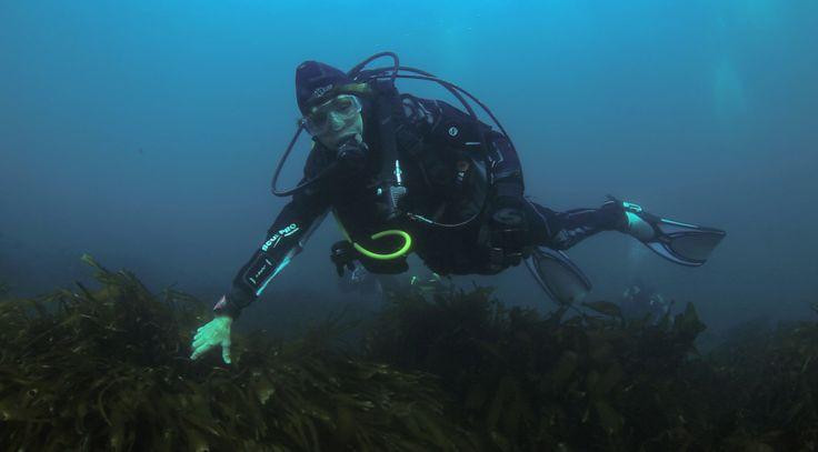 Destacada oceanógrafa Sylvia Earle bucea en la Reserva Nacional Pingüino de Humboldt y llama a las autoridades a protegerla. 5 September 2017. La bióloga marina y reconocida conservacionista, Sylvia Earle buceó en las aguas de la Reserva Nacional Pingüino de Humboldt aprovechando su asistencia al Cuarto Congreso Internacional de Áreas Marinas Protegidas, IMPAC4, que se realiza en Coquimbo.