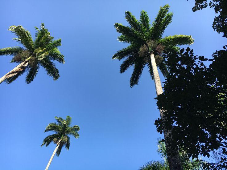 Palmeira Imperial - Jardim Botanico RJ by Claudia Duarte