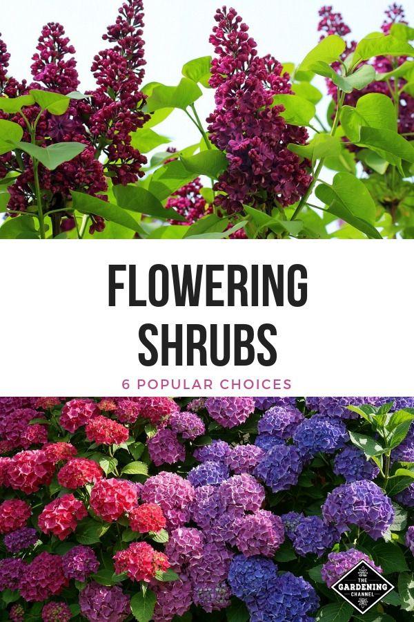 6 Popular Flowering Shrubs Gardening Channel Flowering Shrubs Shrubs For Borders Shrubs For Landscaping