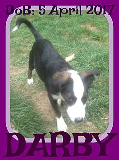 White River Junction, VT - Collie Mix. Meet DARBY, a puppy for adoption. http://www.adoptapet.com/pet/19408828-white-river-junction-vermont-collie-mix