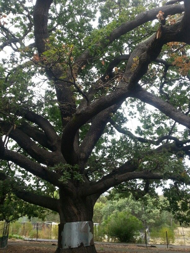 Abbotsford Convent  'The Seperation Tree' has been            growing since the 1850's