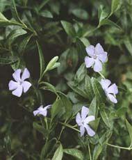 Барвинок малый Внешний вид: Полукустарничек с горизонтальным корневищем и шнуровидными придаточными корнями. Листья сидячие, кожистые, острые, 4-5 см длиной и 2-2,5 см шириной. Цветки одиночные в пазухах листьев. Доли чашечки реснитчатые или опушенные, 7-10 мм длиной