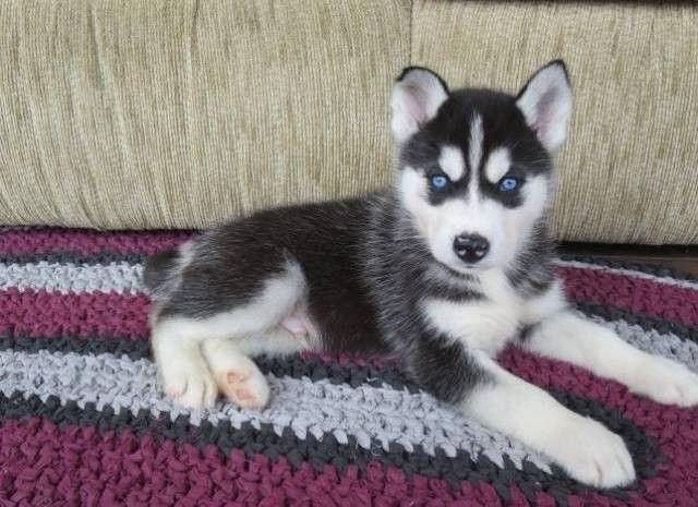 فروش ویژه سگ سیبرین هاسکی Husky 09123609467 اطلاعات بیشتر در سایت