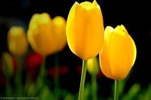 ¿Qué significado tienen los tulipanes amarillos?