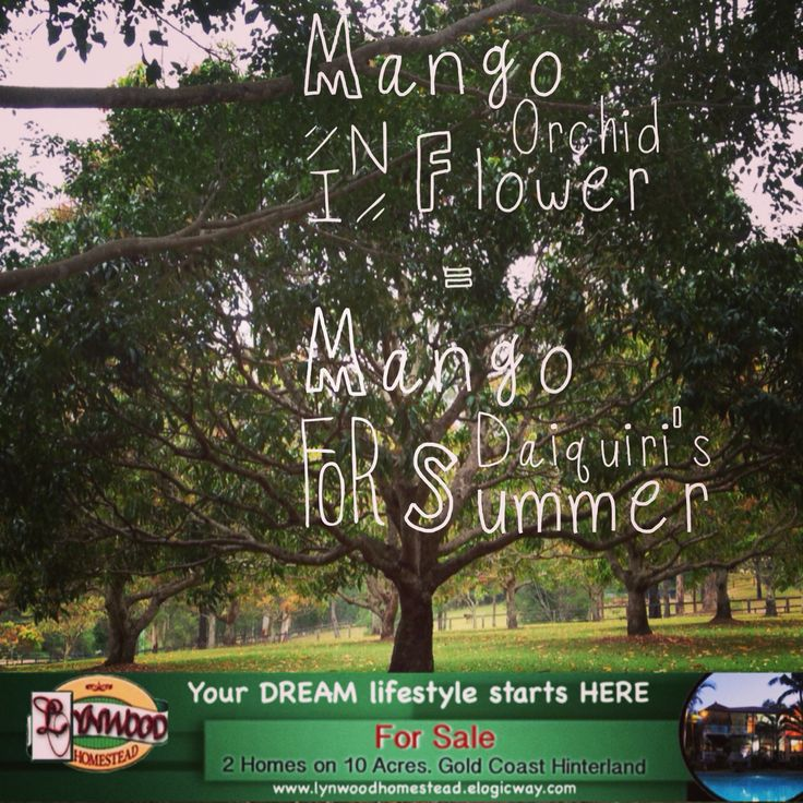 I was super excited when I first noticed the Mango trees in flower. I absolutely love mango! And while I'm generally not a huge huge fan of frozen drinks (I mean, I'll drink them of course, but they aren't my favorite), I luv Mango Daiquiris.  Your DREAM lifestyle start here.. #Mango #MangoDaiquiris #HomesForSale #ForSale #2QueenslanderHomes #MultiFamily #LifeStyleChange #StartYourOwnBedandBreakfast #SharedLiving #TreeChange #GoldCoast.. Visit  http://lynwoodhomestead.elogicway.com