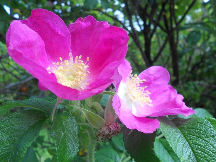 Hot pink finnish flower in autumn
