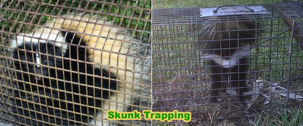 How to Trap a Skunk Trapping Tips and Bait