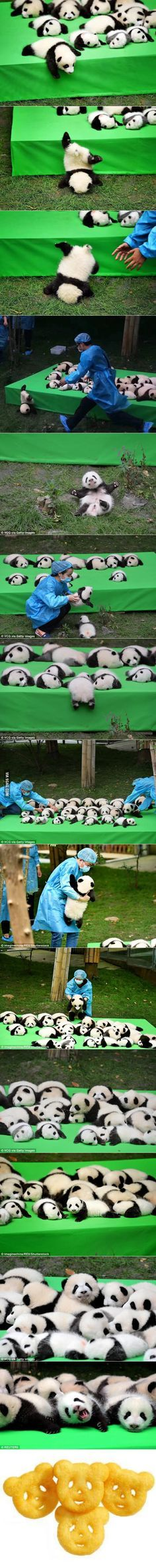 Baby Panda Face-plants And Tumbles On Its First Debut In China CUTE!!!!