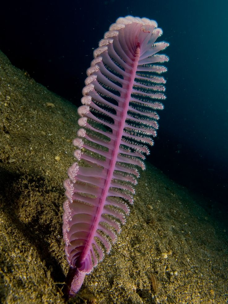 Purple Sea Pen and Other Strange Ocean Creatures