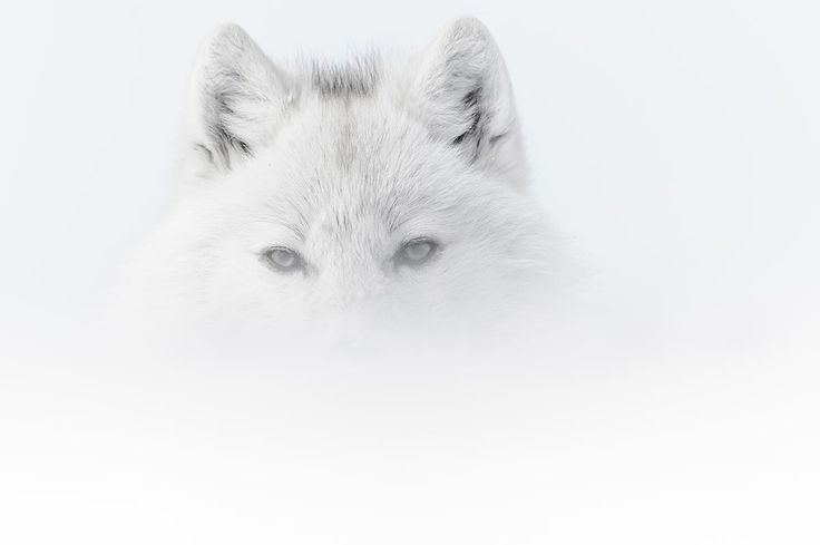 Kobalann, les éditions du photographe nature Vincent Munier