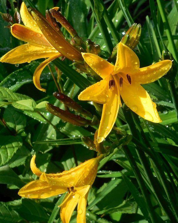 Fiori Gialli Varieta.Hemerocallis Stella De Oro Un Tocco Dorato Per Il Vostro Giardino