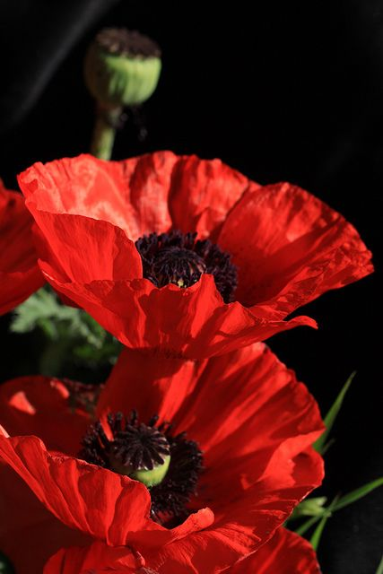 Oriental Poppy (poppy), cut flower, needs full sun, fairly tolerant to drought conditions, This flower has presence. It is the brightest thing around, and it knows it.