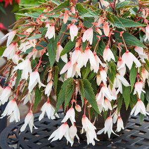 BEGONIA BOSSA NOVA WHITE  - A hybrid tuberous begonia that produces brilliant white blooms.  It is ideal for hanging baskets. It prefers full sun in cooler regions, and part shade in warmer regions.