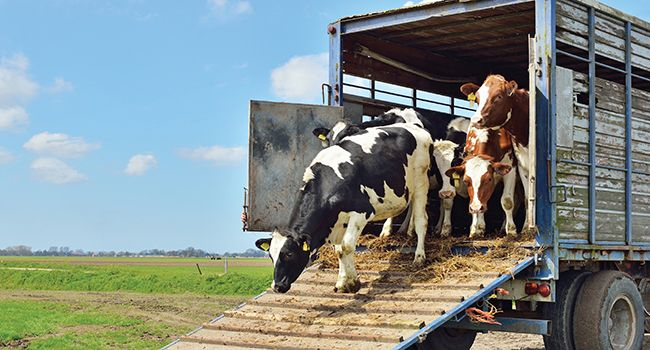 #FIEVRE APHTEUSE : Interdiction du transport de bétail entre les wilayas - Réflexion: FIEVRE APHTEUSE : Interdiction du transport de bétail…