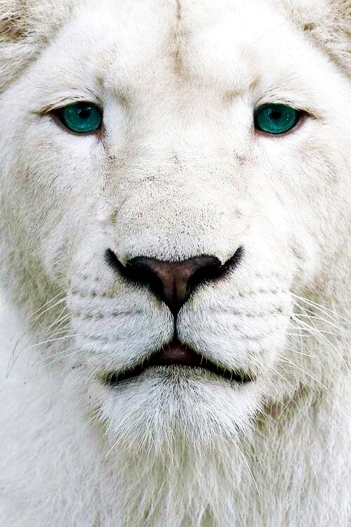 Beautiful White Lion, Not an albino due to the beautiful blue eyes