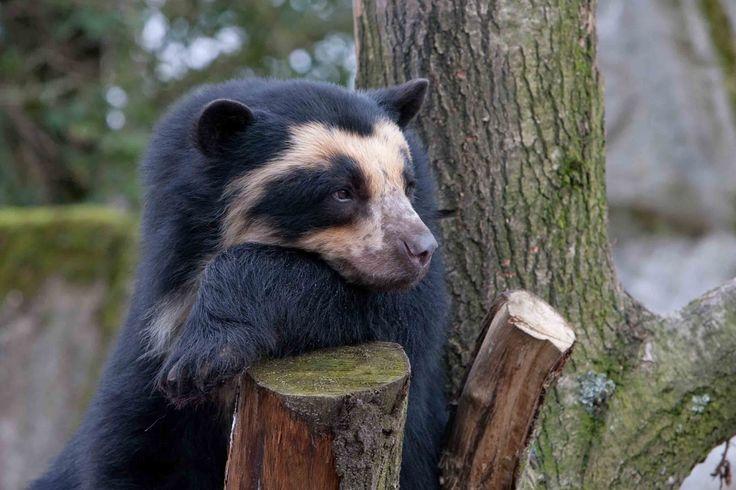 Единственным представителем медвежьего рода в Южной Америке является очковый медведь. Ученые-зоологи доказали, что его «прапрапрадедушкой» был гигантский короткомордый медведь подсемейства Tremarctos — самый крупный из всех медведей, когда-либо живших на планете.  Живет во влажных лесах горных склонов Анд от Венесуэлы до Перу. Отличают мишку от своих собратьев желтые очки-кольца вокруг глаз, иногда опускающиеся вниз вдоль морды до самой груди, образуя желтое или грязно-белое пятно. А все…