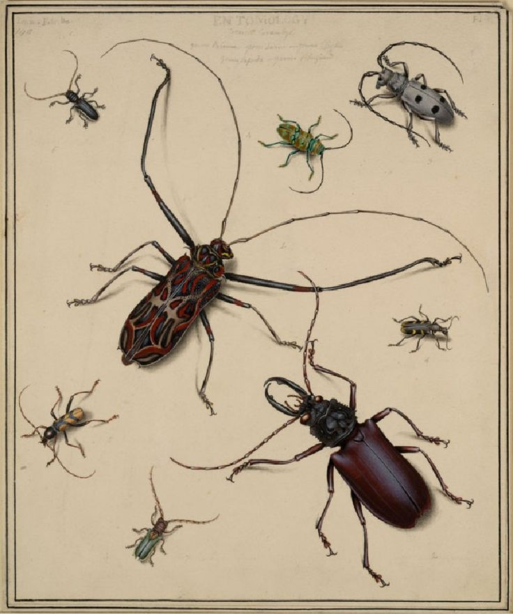 Beetles, Edward Donovan, before 1837 From John Ruskin's collection at the Ashmolean, Oxford