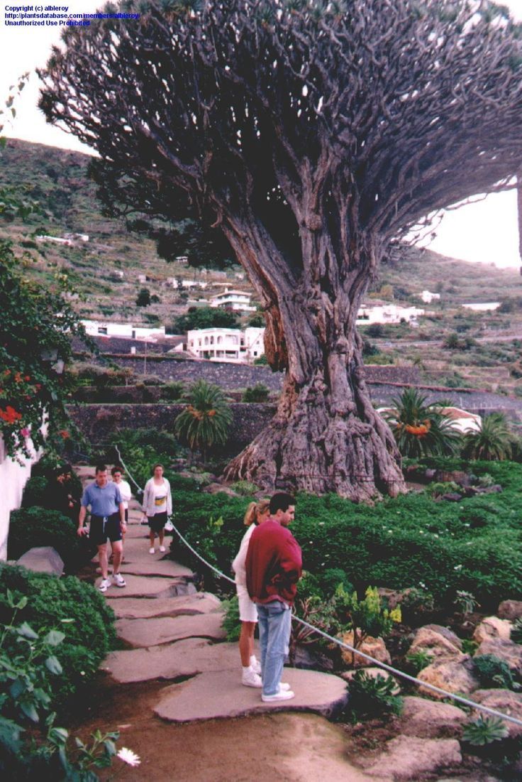 "This is the named ""Drago milenario"" of Icod de Los Vinos on the Island of Tenerife/Canary Islands. This tree is described as having about 3000 years. That is publicity, the tree should only have some 5/600 years."