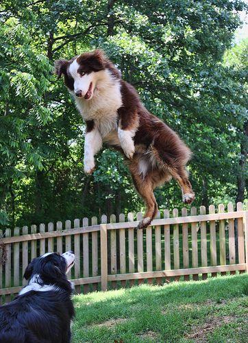 Australian Shepherd levitation...they can do it! #dog #shepherd #animal