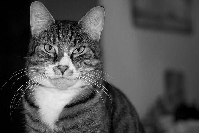 Gato, Animal, Cinzento, Animal De Estimação, Gatinho