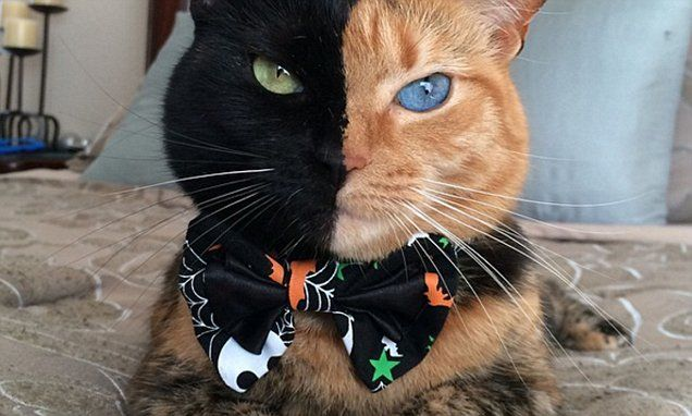 Image result for one side black other orange cat