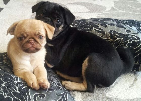 Cute Pug Puppies. Unique Caramel and Black & Tan Colors