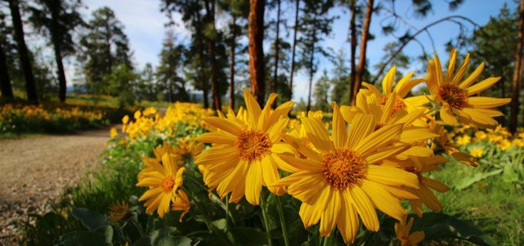 A stroll through the beautiful Okanagan sunflowers!