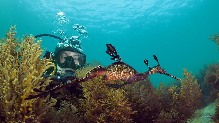 Diving with Weedy seadragons in Portsea on the Mornington Peninsula