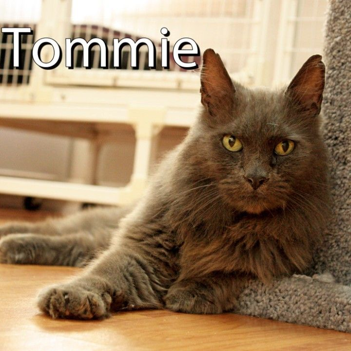 *Tommie is this week's featured feline!* Help Tommie find a home today! Feline Friends is a non-profit Cat Rescue Organization primarily serving Thurston and Mason Counties. Their Cat House and Adoption Center is located at 6515 Sexton Drive NW, Olympia (Hwy 101 and Steamboat Island Road), 360-866-0599. #featuredfeline #feline #friends #cat #cathouse #cats #kitty #love #adorable #meow #dontshopadopt #adopt #rescue #save #shelter #local #community #support #PNW #WA #Washington #Olympia