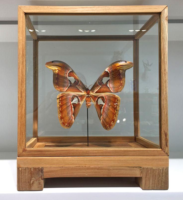 Atlas butterfly (Attacus atlas)