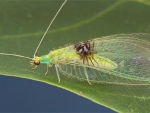"""Tipo de inseto descoberto na Malásia é chamado no Brasil de """"bicho-lixeiro"""" (Foto: Reprodução/ZooKeys)"""