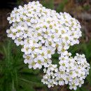 La Milenrama (Achillea millefolium L.)  posee acción antiinflamatoria, antimicrobiana, diurética y digestiva.