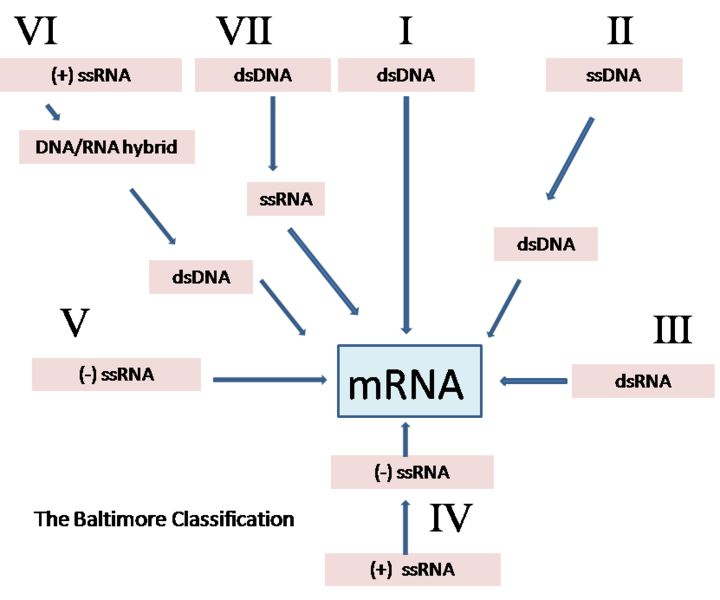 All About Microbiology: Virus classification