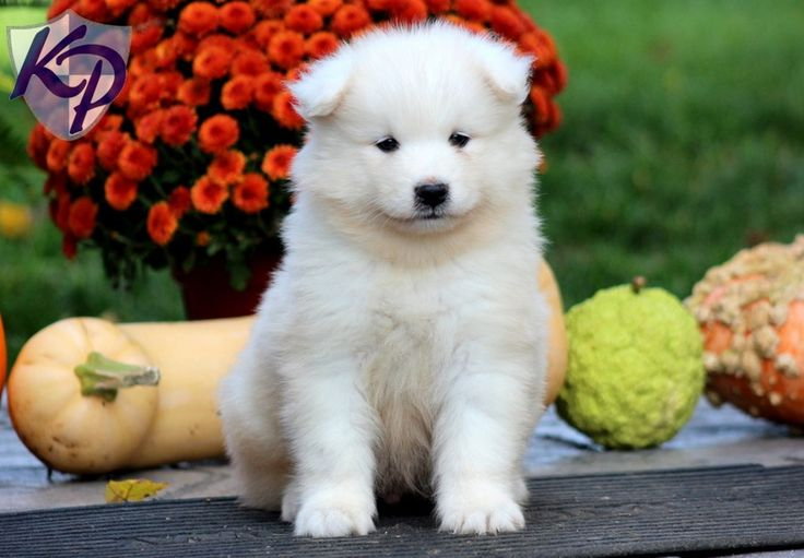 Price – Samoyed Puppies for Sale in PA | Keystone Puppies