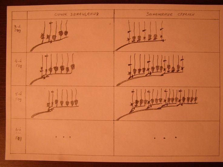 . Два способа замещения лозы побегами по годам: слева - с помощью сучка замещения, справа - замещение ст