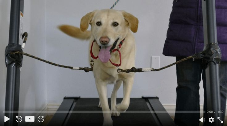 Train your dog to walk on a treadmill. www.petpossibilities.com is currently on sale. Get huge discounts for dog treadmill and promote activity for your dog especially on your busy days.
