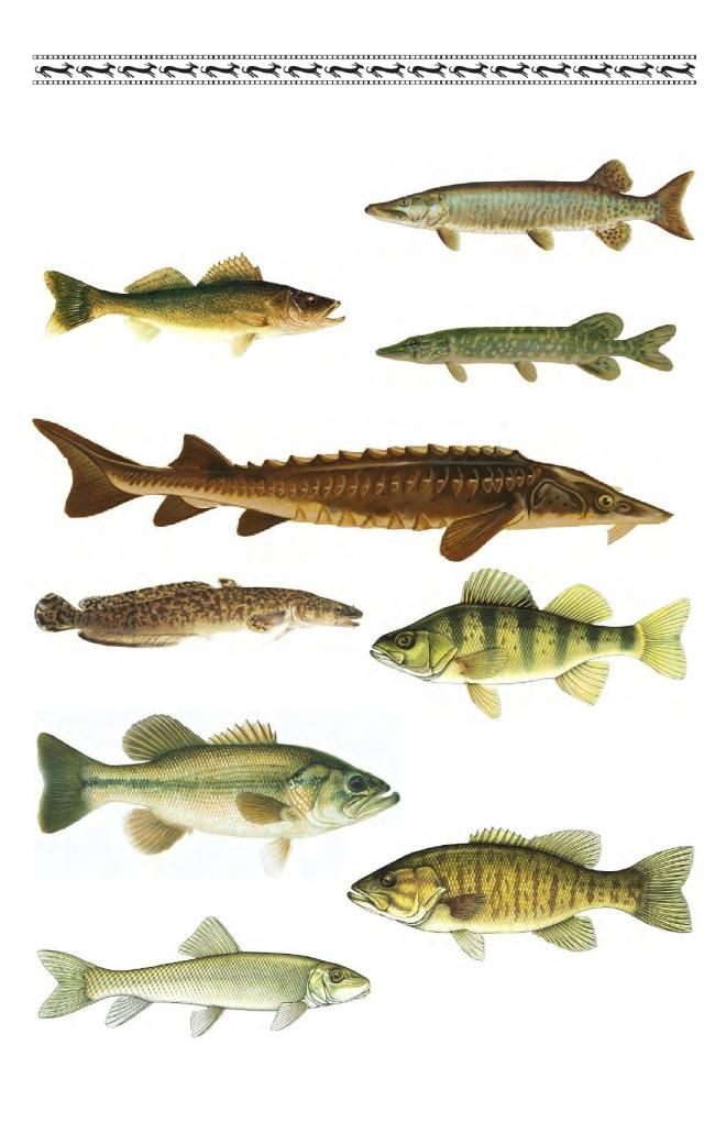77 best images about endangered species of ny state on for Fishing in michigan
