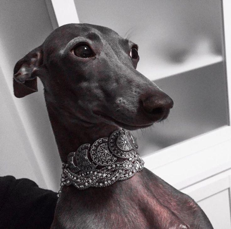 """Piccolo levriero italiano """"Donatello"""" Italian greyhounds mascotas perros galgo"""