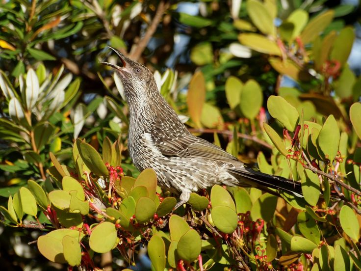 Little wattlebird - Photo by Will Taylor