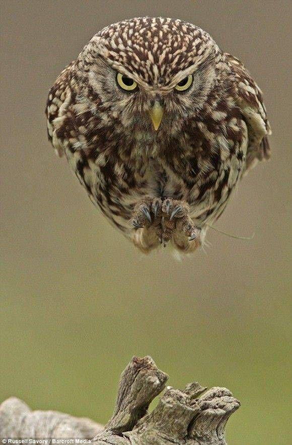 【画像】フクロウかっこよすぎワロタwwwwwwwwwwwwwwww : キニ速