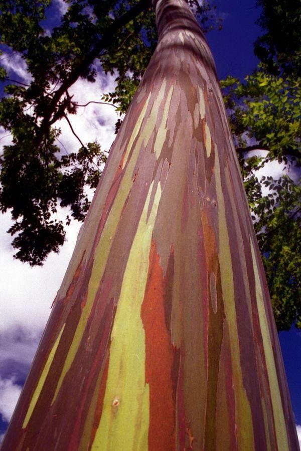 Радужный эвкалипт. Дерево всех цветов радуги.