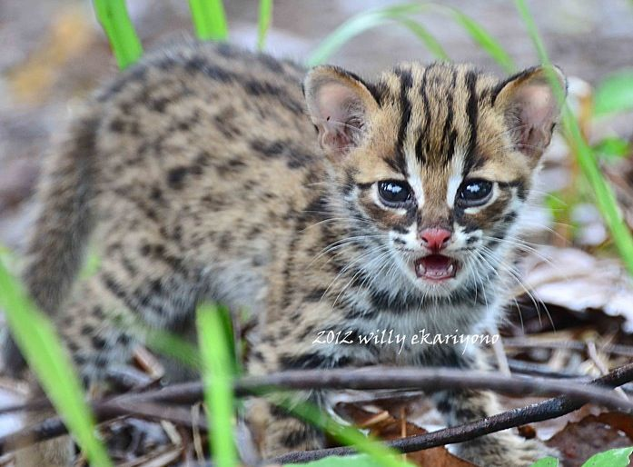 Asian Leopard Cat For Sale South Africa