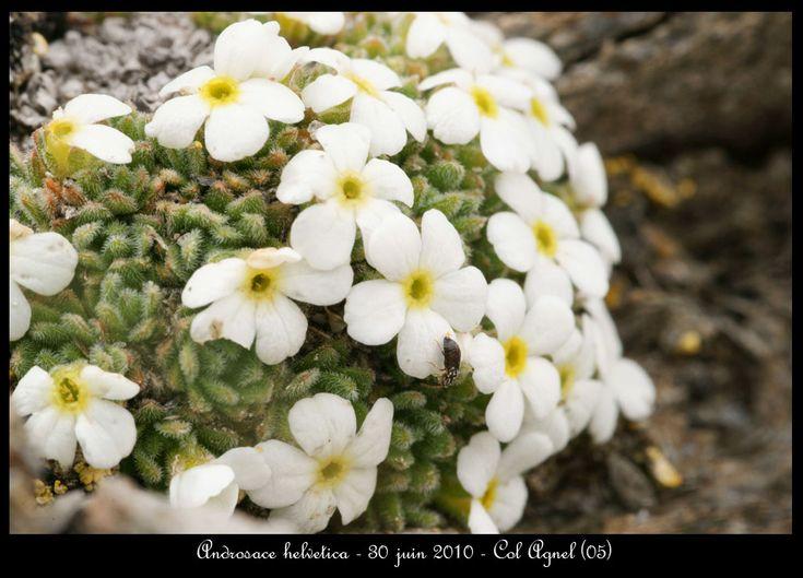 11 best Narcissus asturiensis images on Pinterest ...