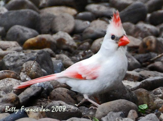 Albino Cardinal by BettyFrance ~ I'd like to see one of these, too.        I've learned that for a cardinal to be completely albino he must have red eyes and no red on his feathers. This one is leucistic. Thank you FairyWren for keeping me straight. ♥  Albino Cardinal