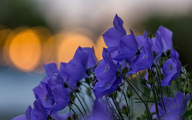 Скачать обои фокус, макро, синие, Колокольчики, цветы, размытость, лепестки, блики, раздел цветы в разрешении 1440x900
