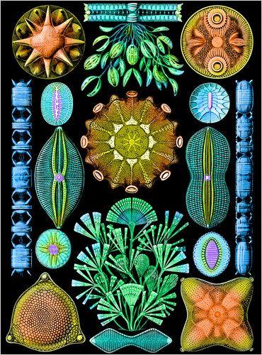 Beautiful diatoms, Ernst Haeckel.