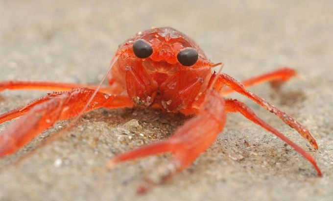 Scientists spot red crabs swarming off the coast of Panama.  This specie is usually found in the Gulf of California, and the west coast of Baja California.  Crabs May Indicate El Nino Event. Article/short video